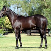 Savabeel x Baby Shacks colt. Purchased by Whitby Bloodstock/ Kitchwin Hills for A$300,000
